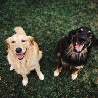 čistenie chrupu psov